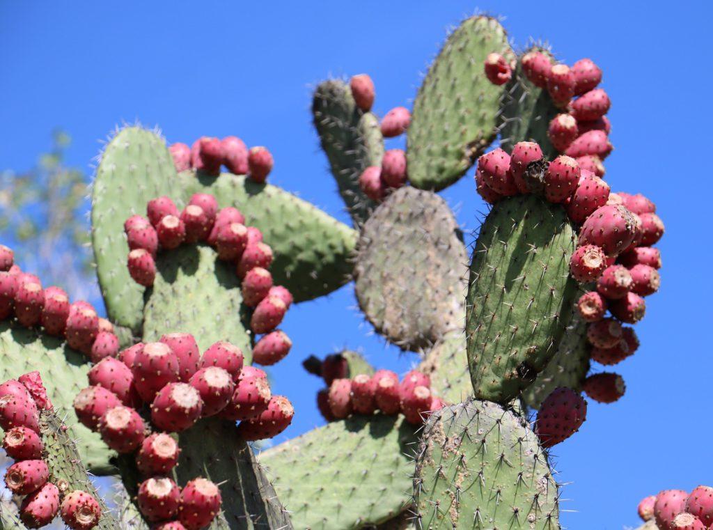 Nopal Cactus de figue de barbarie