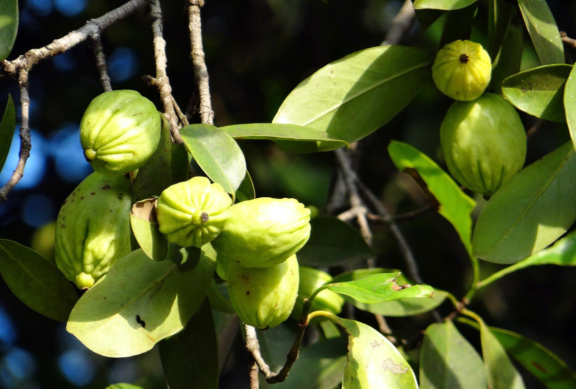 garcinia cambogia plante medicinale