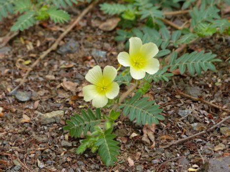 tribulus terrestris plante medicinale