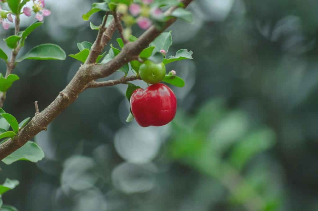 plante médicinale l'acérola