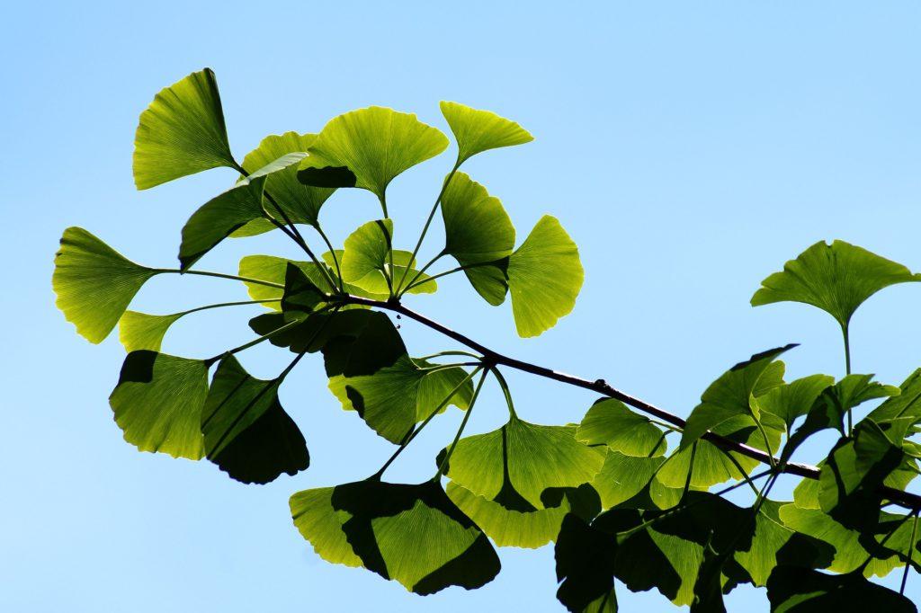 plante médicinale le ginkgo biloba